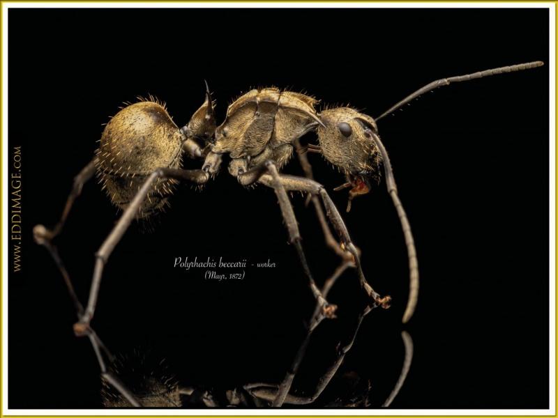 Polyrhachis-beccarii-worker-2Mayr-1872