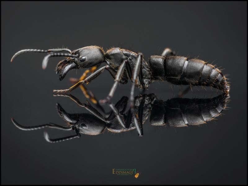 Pachycondyla-crassinoda-worker-8Latreille-1802