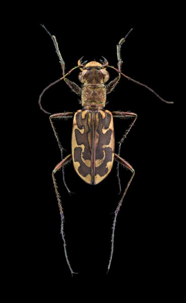 Lophyra-fasciculicornis-4Barker-1919