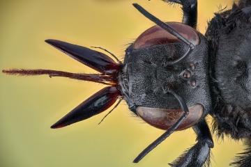 carpenter bee Thailand-2