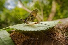 mayfly - [Ephemeroptera]