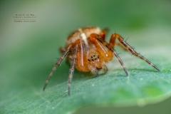 juvenile cross spider [Araneus diadematus]