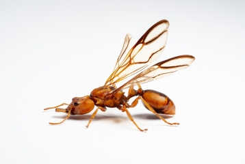 arboreal trap-jawed ant [Daceton armigerum] - Northern South America-2 copy