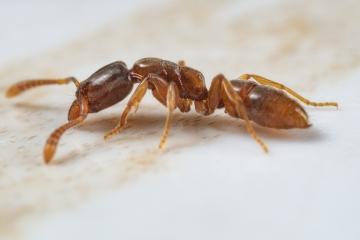 Hypoponera punctatissima - Botswana, Africa-6