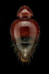 red bull ant [Myrmecia gulosa] - Australia copy 2
