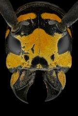 longhorn beetle [Tragocephala jucunda]