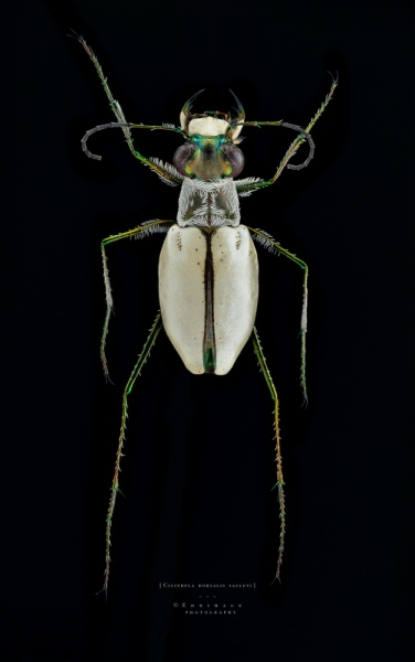 Cicindela dorsalis sauleyi - Cayo Costa Island Florida