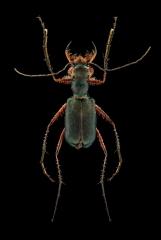 Heptodonta ferrari - Laos-2