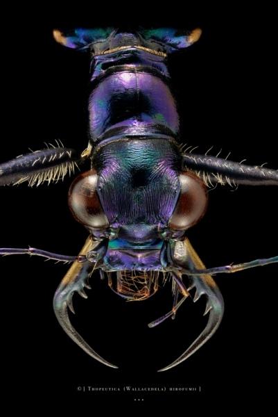 Thopeutica (Wallacedela) hirofumii - Sulawesi - Philippines-3