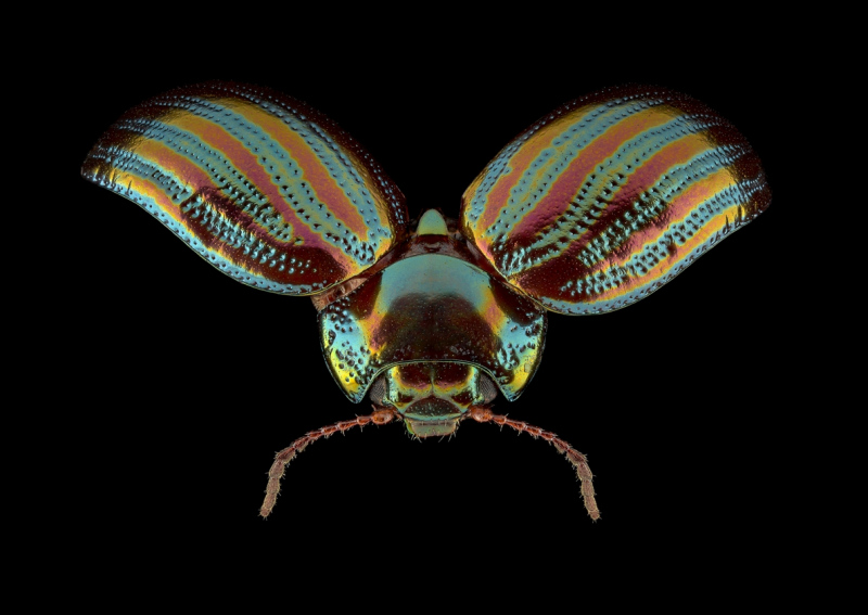 Rosemary-beetle-Chrysolina-americana-UK-2