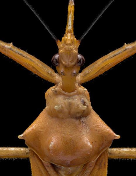 assassin-bug-Reduviidae-Madagascar-4