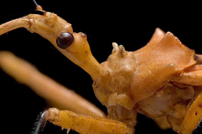 assassin-bug-Reduviidae-Madagascar-6