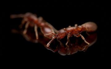 clonal-raider-ant-Ooceraea-biroi