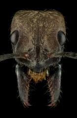 hairy-panther-ant-Neoponera-villosa-Texas-2