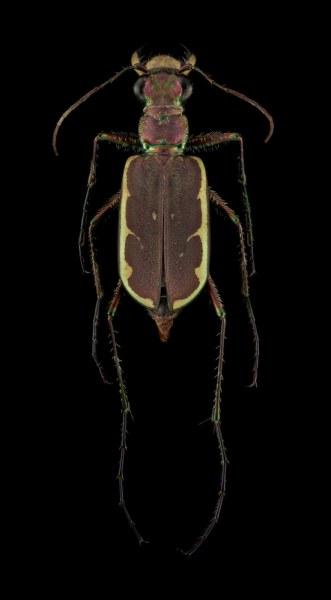 Hipparidium-equestre-Madagascar-3