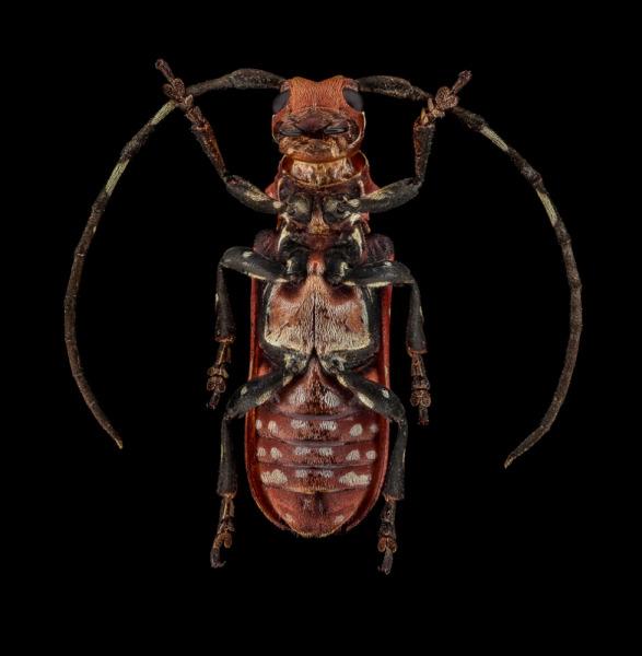 Callimation-venustum-Madagascar-2