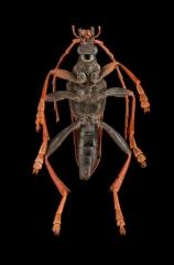 Mastododera-nodicollis-Madagascar-2