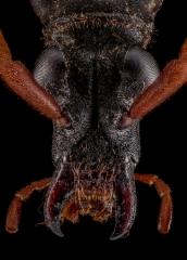 Mastododera-nodicollis-Madagascar-3