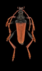Mastododera-nodicollis-Madagascar