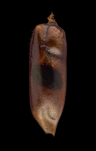 Therates-latreillei-pseudobipunctatus-Indonesia-3