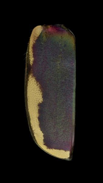 Cicindela-scutellaris-lecontei-Canada-5