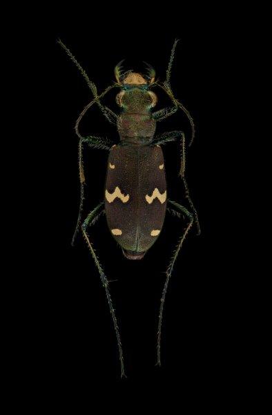 Cicindela-sachalinensis-raddei-Russia