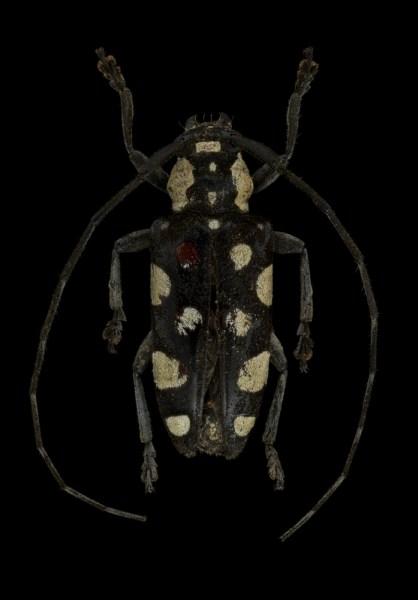 Phymasterna-lacteoguttata-Madagascar