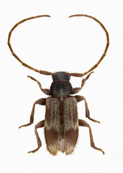 Exocentrus-lusitanus-Poland