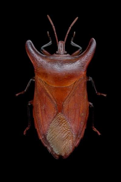 Eurypleura-bicornis-Thailand