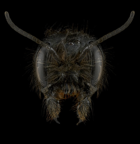 Red-Mason-bee-Osmia-bicornis-UK-2