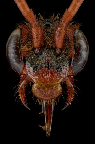 Cuckoo-bee-Nomada-flava-UK-4