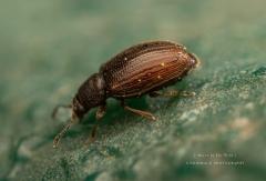 small-beetle-UK