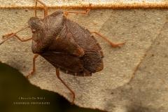 shield-bug-UK