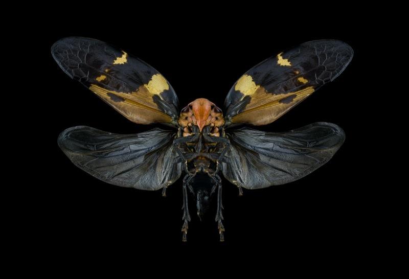 Cicadoidea-Madagascar
