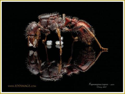 Pogonomyrmex-rugosus-queen-1Emery-1895