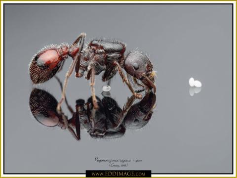 Pogonomyrmex-rugosus-queen-4Emery-1895