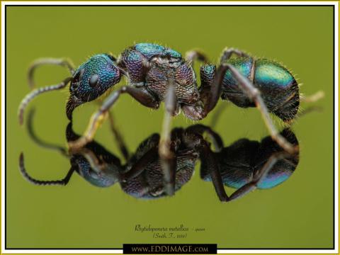 Rhytidoponera-metallica-queen-5-Smith-F.-1858