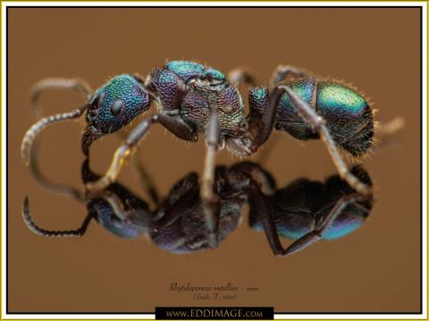Rhytidoponera-metallica-queen-6-Smith-F.-1858