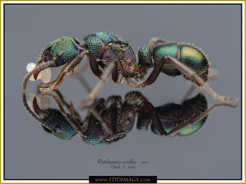 Rhytidoponera-metallica-queen-8-Smith-F.-1858