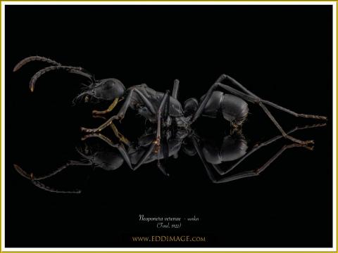 Neoponera-verenae-worker-4-Forel-1922