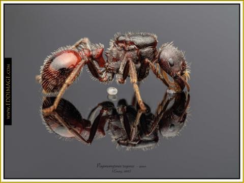 Pogonomyrmex-rugosus-queen-5Emery-1895