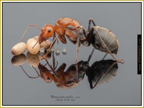 Myrmecocystus-mendax-queen-3-Wheeler-W.M.-1908