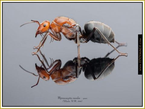 Myrmecocystus-mendax-queen-5-Wheeler-W.M.-1908