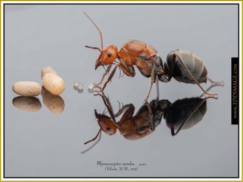 Myrmecocystus-mendax-queen-6-Wheeler-W.M.-1908