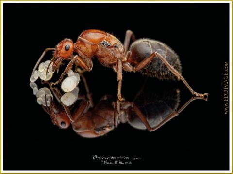 Myrmecocystus-mimicus-queen-1-Wheeler-W.M.-1908