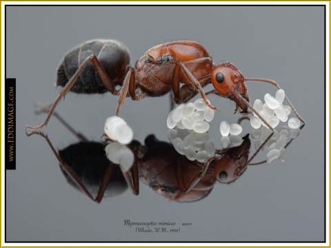 Myrmecocystus-mimicus-queen-6-Wheeler-W.M.-1908