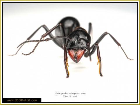 Streblognathus-aethiopicus-worker-3Smith-F.-1858
