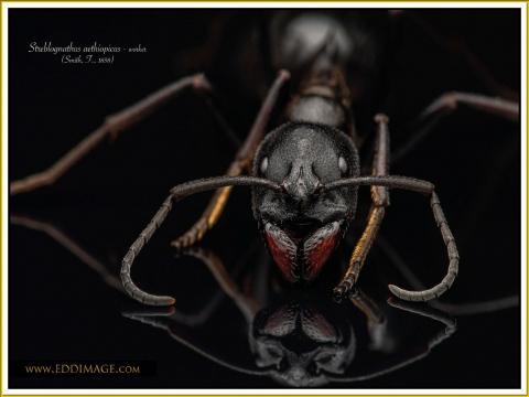 Streblognathus-aethiopicus-worker-4Smith-F.-1858