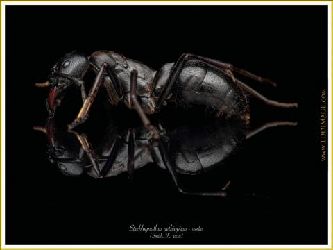 Streblognathus-aethiopicus-worker-5Smith-F.-1858
