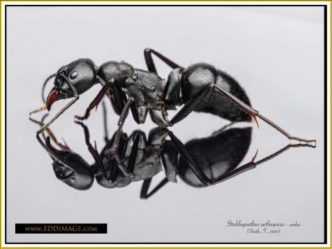 Streblognathus-aethiopicus-worker-6Smith-F.-1858